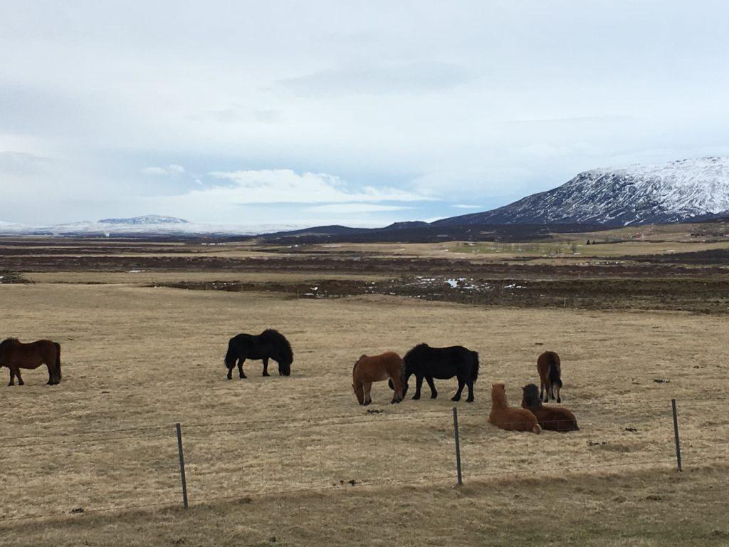 Islande Chevaux